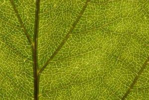 ¿Qué estructuras están en la goma de la sidra que llevan a cabo la fotosíntesis?