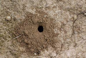 El papel de la reina de la hormiga
