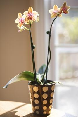 Cómo tinte de las orquídeas