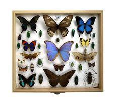 Cómo Fijar una colección de insectos