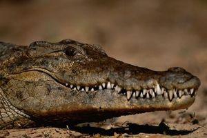 Cómo identificar un cráneo de cocodrilo