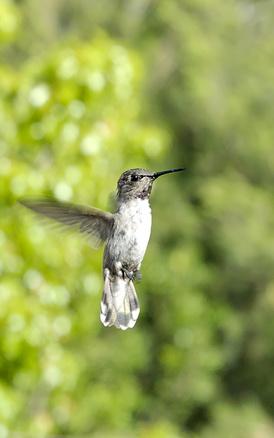 Comportamiento Hummingbird Courting