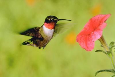 ¿Por qué los colibríes tienen picos largos?