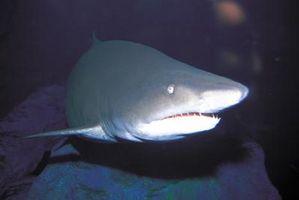 En virtud de los Proyectos de Ciencias del Mar de tiburones