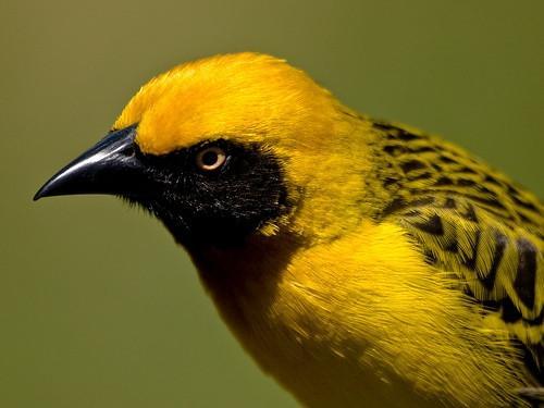 ¿Qué tipo de semillas de aves atrae a la mayor variedad de aves?
