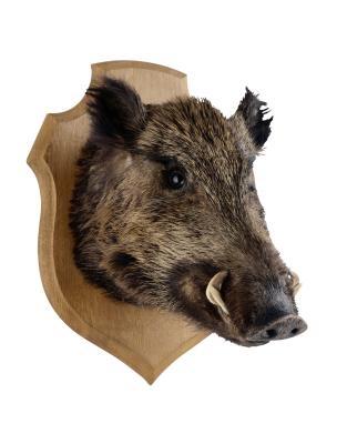 ¿Cuál es la diferencia entre salvajes y cerdos cerdos de granja?