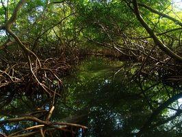 Los manglares Adaptación