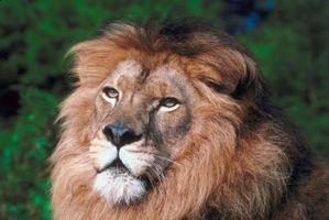 ¿Qué tipo de ecosistema Hacer leones viven?