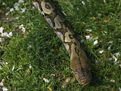 ¿Qué hace diferente de otros pitones serpientes gigantes?