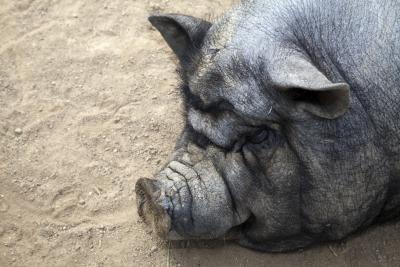 Cómo juzgar cerdos en una feria del condado