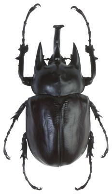 Escarabajos negro y los insectos en Utah