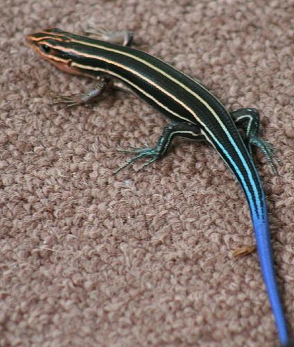 ¿Qué comen los lagartos de cola azul?