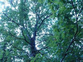 Cómo identificar un árbol de roble blanco