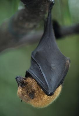 Cómo medir el tamaño de una juventud Bat