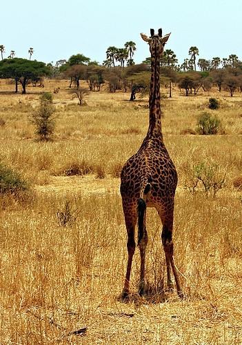 Datos del Sistema Digestivo de la jirafa