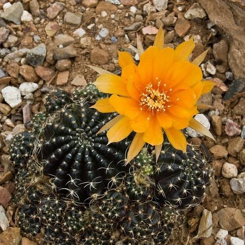 Identificación de Plantas de floración del desierto