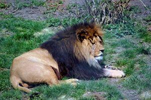 Información sobre Lions