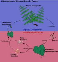 El ciclo de vida de Pteridophyta