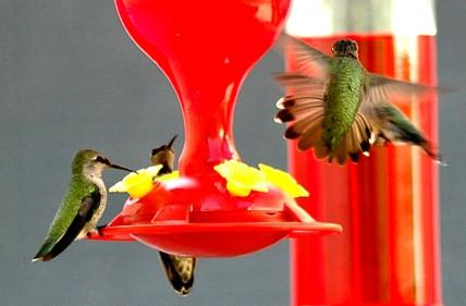 Cuál es la fórmula Azúcar Agua para tarareo alimentadores del pájaro?