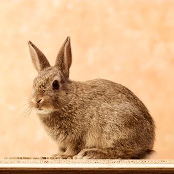 Cómo juzgar conejos de carne