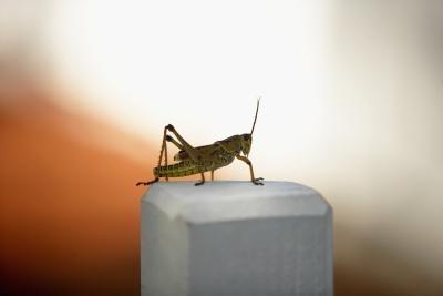 Los insectos que se frotan alas juntas