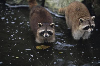 Los hábitos alimenticios de los mapaches