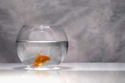 ¿De qué manera Goldfish obtener oxígeno?