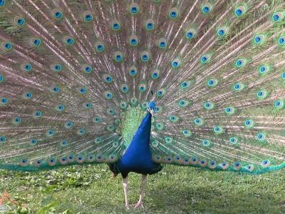 Cómo cuidar de plumas del pavo real