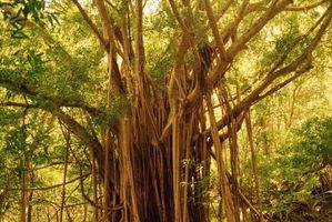 Los árboles en la selva tropical de la India