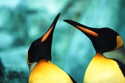 Las diferencias entre el macho y hembra Pingüinos de emperador