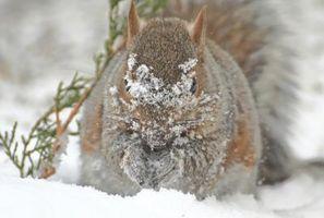 ¿Cómo funciona una ardilla sobrevivir en el invierno?