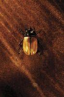 Cómo matar a los escarabajos de madera con alcohol