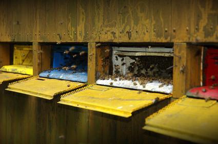 La apicultura urbana en Minneapolis