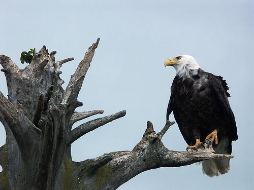 Vida útil de la American Eagle