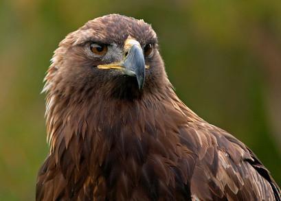 La identificación de Colorado Bird Alpine