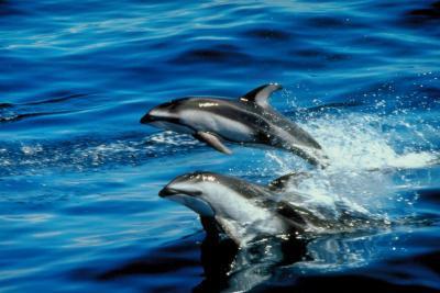 ¿De qué manera los delfines comunes defenderse?