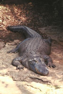 ¿Qué tamaño tiene cocodrilo más grande del mundo?