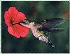 Cómo atraer a los colibríes a su patio trasero Hábitat