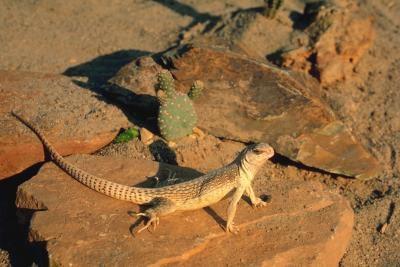 Hábitat del desierto Iguanas
