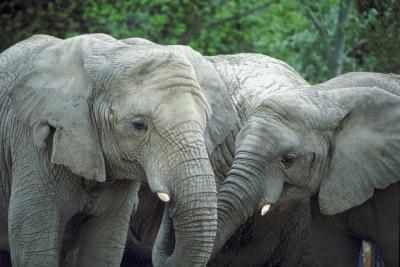Características de los elefantes africanos