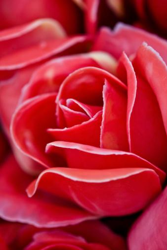 Ramos de novia DIY Rose roja