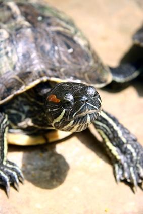 Cómo configurar un acuario para una tortuga de barro