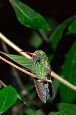 La migración de los colibríes al sur de Florida