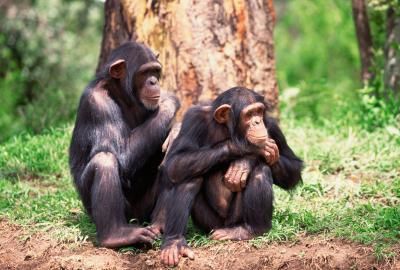 Ubicaciones geográficas del chimpancé