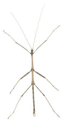 Las diferencias entre una mariposa y de un insecto palo