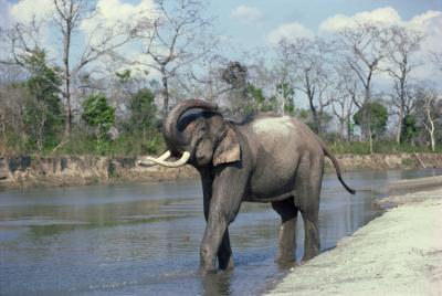 Las adaptaciones de comportamiento de los elefantes asiáticos