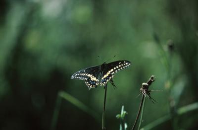 Cómo encontrar un Swallowtail Negro