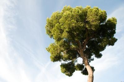 Cómo plantar un árbol de Tu Bishvat