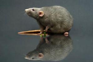 ¿Qué tipo de consumidor es una rata?