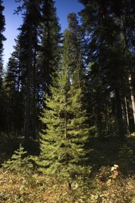 Las maneras más fáciles de extraer de alquitrán de pino